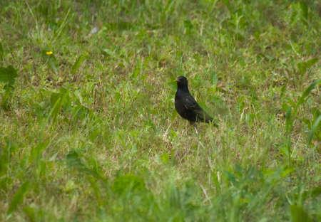 Common starling, Sturnus vulgaris Stock Photo - 14049232