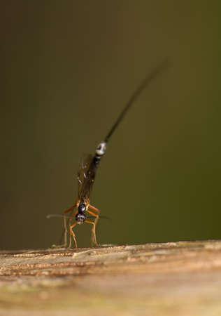 hymenoptera:  Ichneumonidae, Ephialtes manifestator