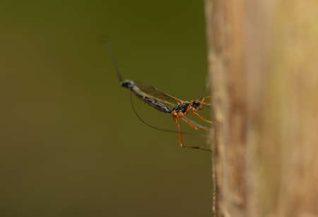 Ichneumonidae, Ephialtes manifestator photo