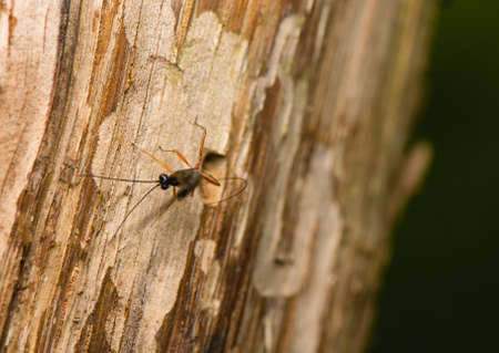 Ichneumonidae, Ephialtes manifestator Stock Photo - 14049340