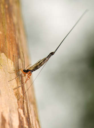 Ichneumonidae, Ephialtes manifestator photo
