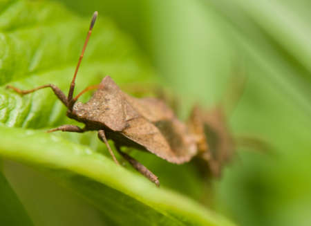 Coreus marginatus photo