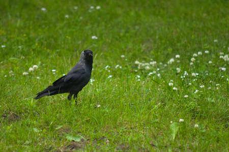 Corvus monedula photo