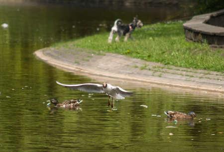 ridibundus: Black-headed Gull, Gull, Chroicocephalus ridibundus
