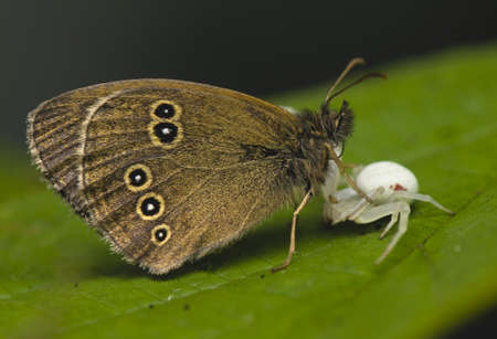 vatia: Attacco Misumena vatia sul hyperantus Aphantopus