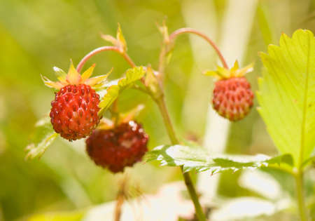 fragaria: Fragaria Stock Photo