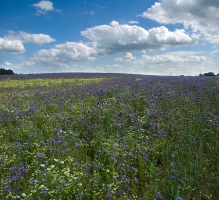 Field Phacelia Juss photo