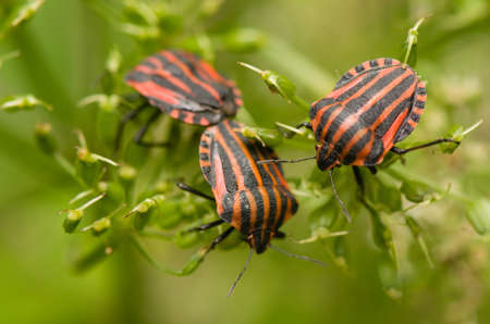 Graphosoma lineatum photo