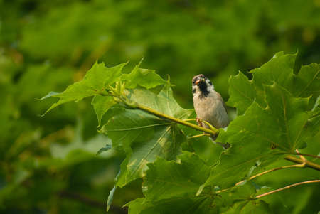 passer    by: Sparrow - Passer montanus