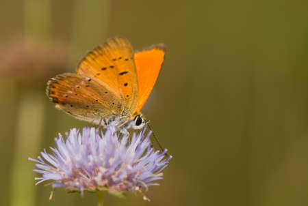 Lycaena virgaureae Stock Photo - 14391508