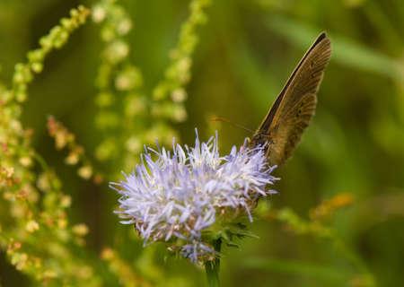 Aphantopus hyperantus Stock Photo - 14391602