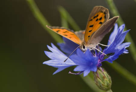Lycaena phlaeas Stock Photo - 14391360