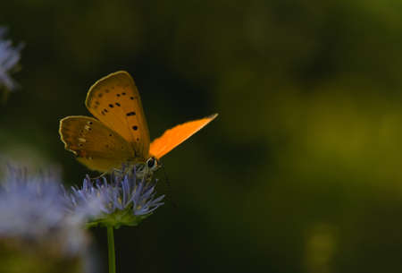 Lycaena virgaureae photo