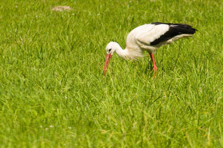 White Stork Ciconia ciconia photo