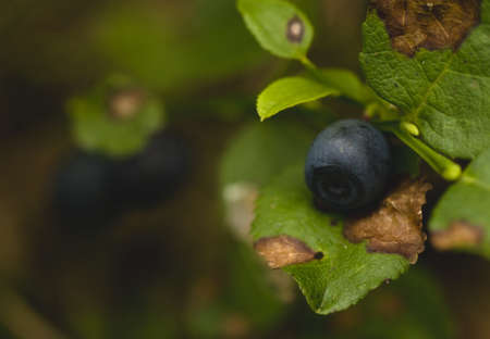 bilberry: bilberry