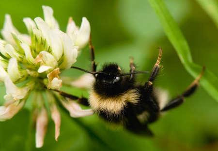 bumblebee Stock Photo - 14580706