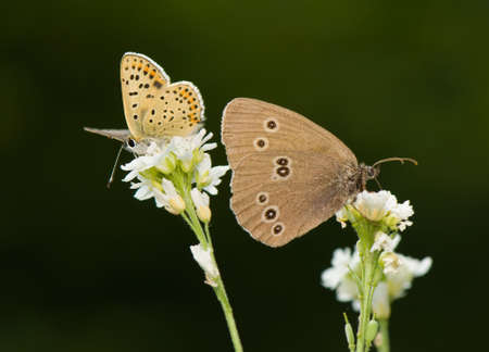Aphantopus hyperantus and Lycaena tityrus photo