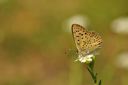 Lycaena tityrus photo