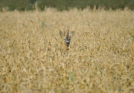 Roe deer photo