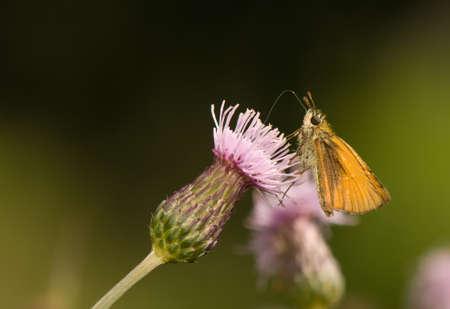 ochlodes: butterfly Ochlodes sylvanus