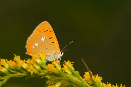 butterflyLycaena virgaureae photo