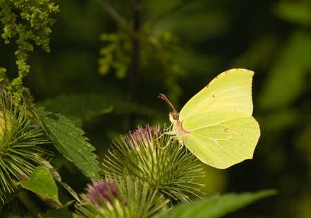 butterfly Brimstone Gonepteryx rhamni photo