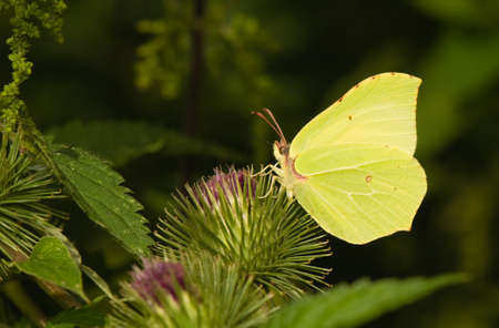 butterfly Brimstone Gonepteryx rhamni Stock Photo - 14769831