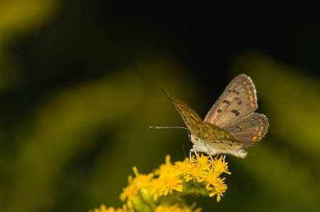 butterfly Lycaena tityrus photo