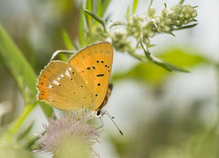 lycaena: butterfly Lycaena virgaureae