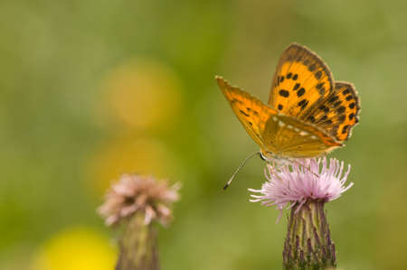 butterfly Lycaena virgaureae Stock Photo - 14769829