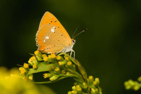 virgaureae: butterfly Lycaena virgaureae
