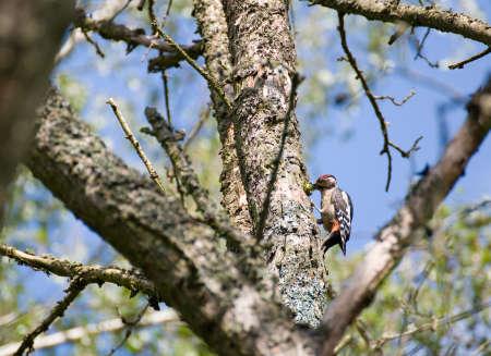 dendrocopos: Great Spotted Woodpecker Dendrocopos major