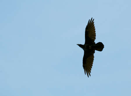 Common raven, raven, Corvus corax photo