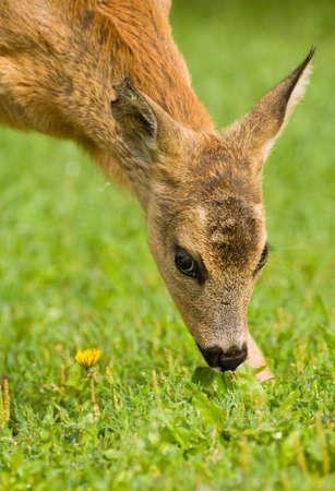Young Roe deer photo