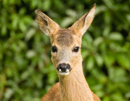 Young Roe deer photo