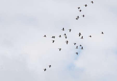 anser: Greylag Goose, Greylag, Anser anser Stock Photo