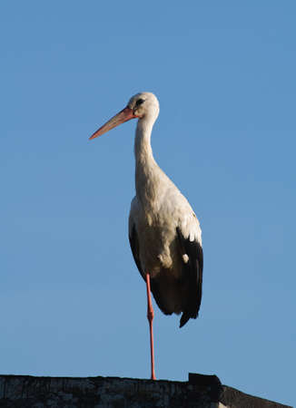 White Stork Ciconia ciconia Stock Photo - 15192146