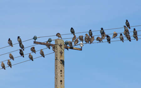 Common starling, Sturnus vulgaris photo
