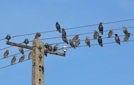 traction: Common starling, Sturnus vulgaris