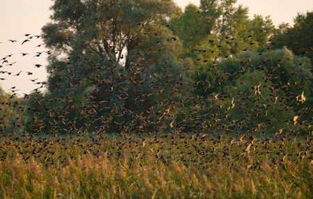 ornitology: Common starling, Sturnus vulgaris
