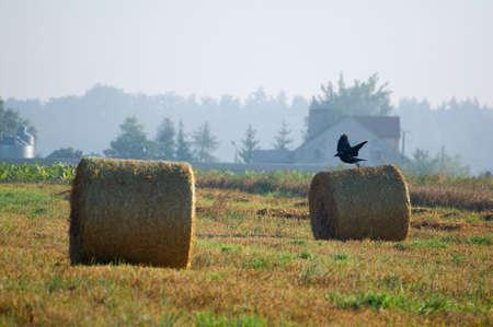 corax: Common raven, raven, Corvus corax