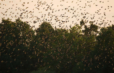vulgaris: Common starling, Sturnus vulgaris