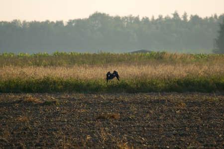 Common raven, raven, Corvus corax Stock Photo - 14917030
