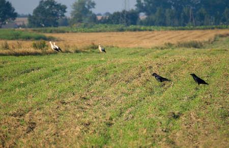 corax: Corvo comune, corvo imperiale, Corvus corax