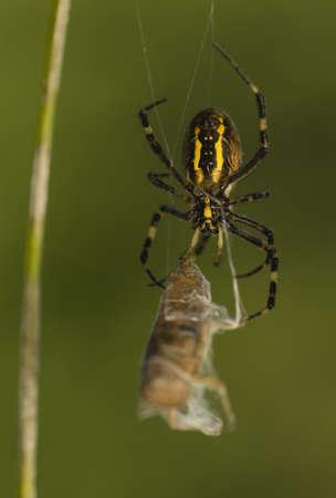 Wasp, Argiope bruennichi Stock Photo - 14919564