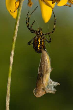 argiope: Wasp, Argiope bruennichi Stock Photo