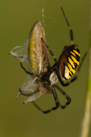 Wasp, Argiope bruennichi photo