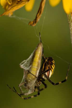 Wasp, Argiope bruennichi photo