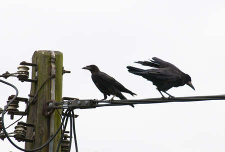 corvus: Corvus frugilegus Foto de archivo