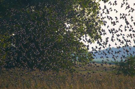 Common starling, Sturnus vulgaris photo
